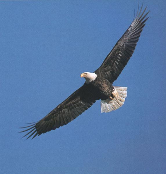 BaldEagle_112-In_full_flight